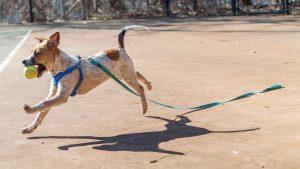 Perro jugando con correa puesta