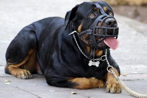 Perro rottweiler con bozal