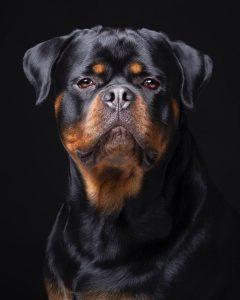 Perro raza rottweiler. Foto emilio cuenca
