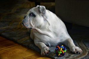 Perro con juguete mordedor